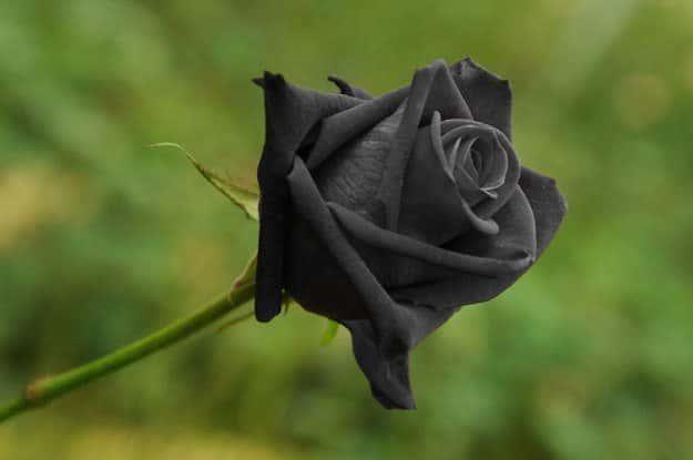 ck rose