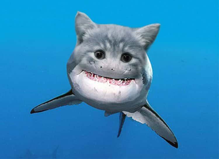 Cat-Shark2