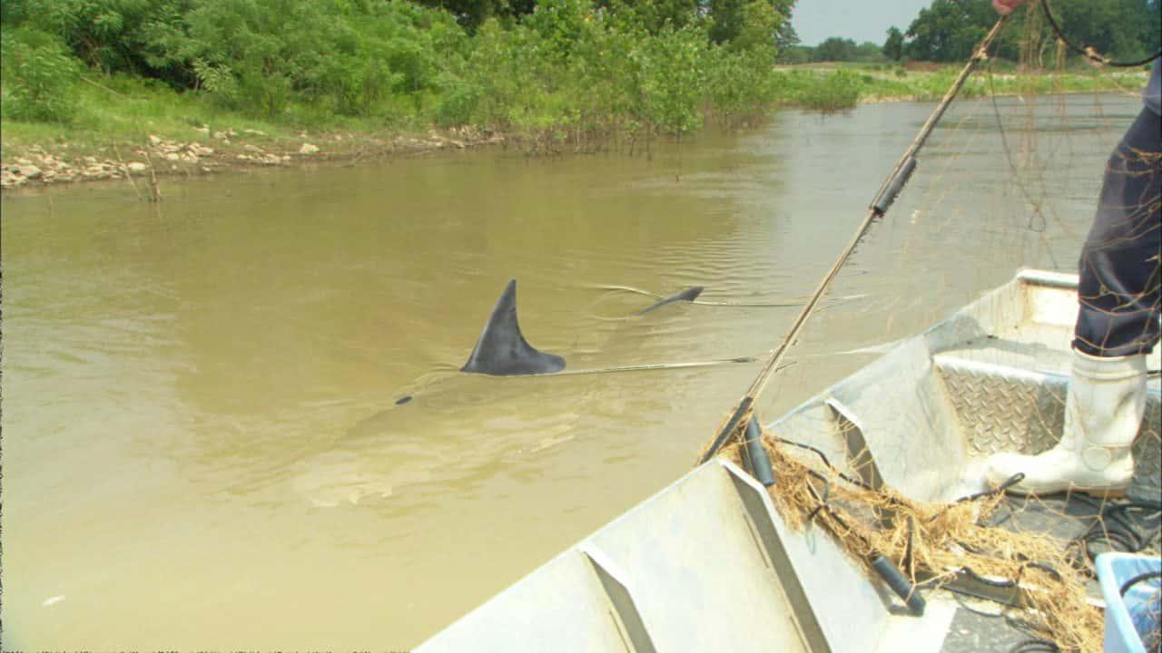 river shark