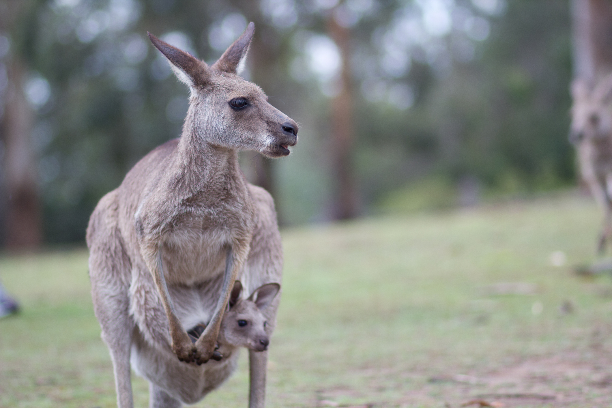 Kangaroo With Baby In Pouch On Field.