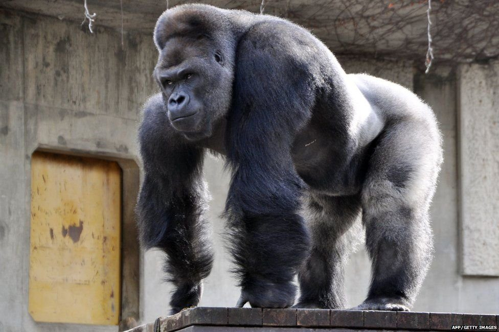 Gorilla - Facts About