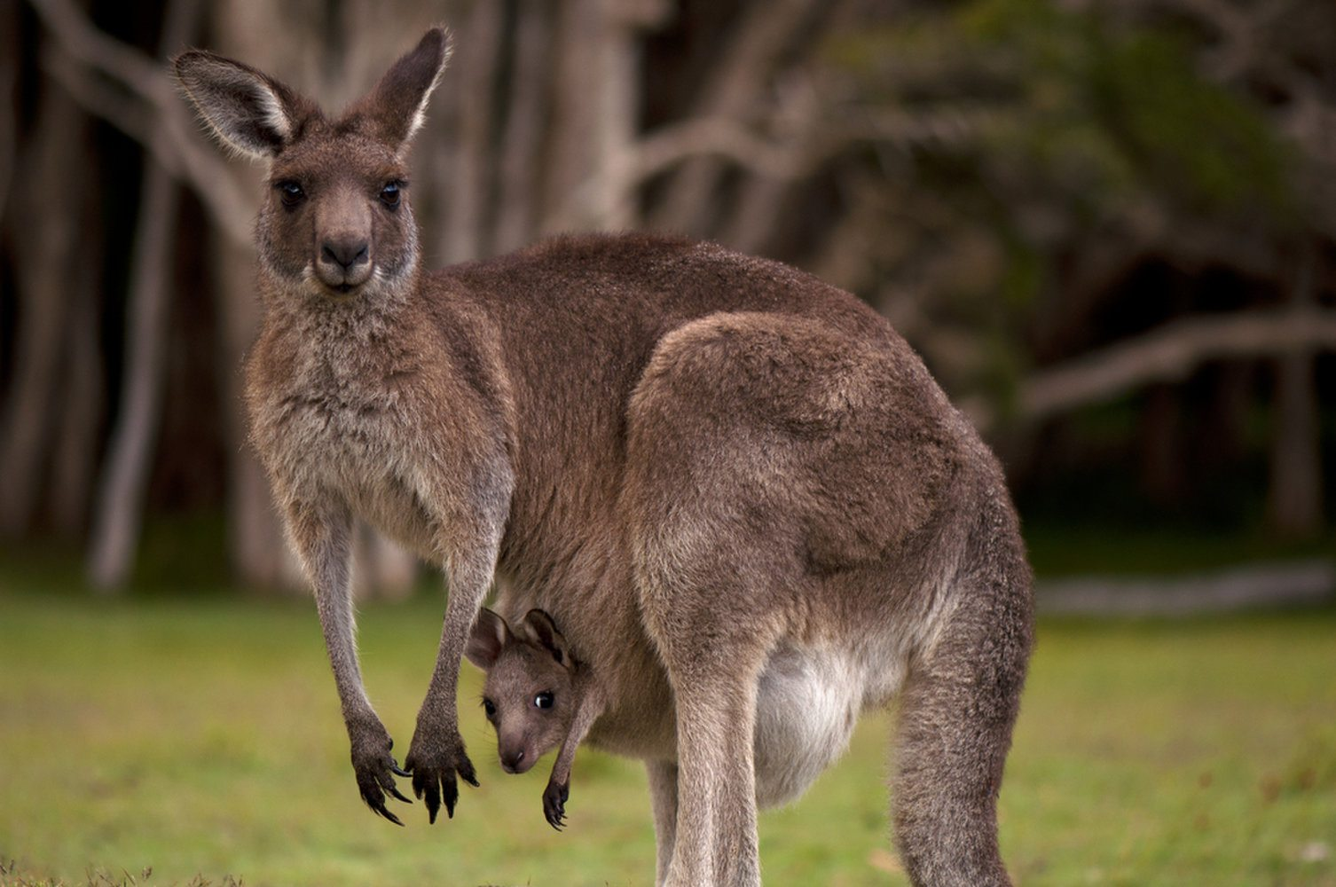 Kangaroo - Facts About