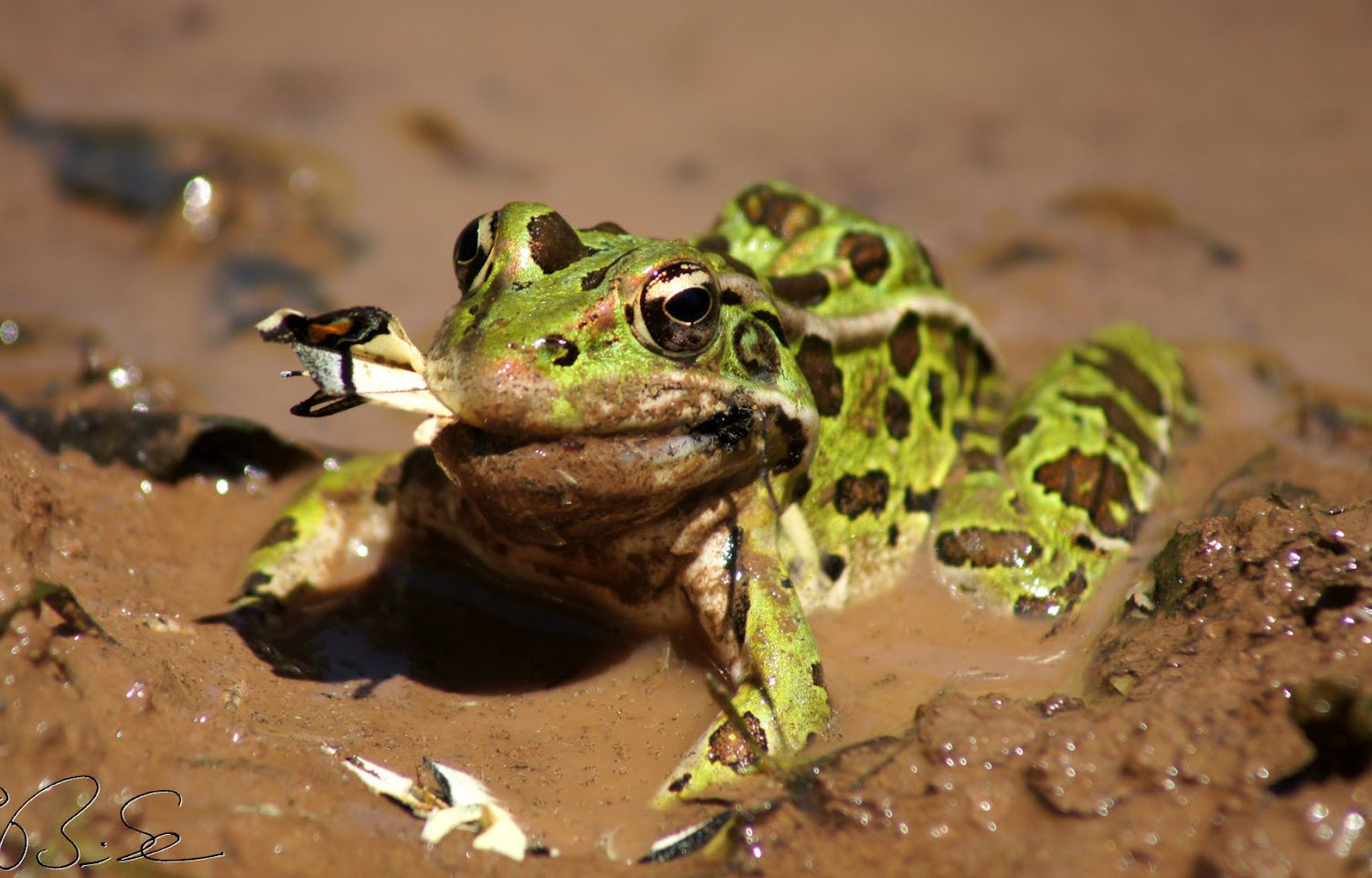 Northern Leopard Frog - Facts about