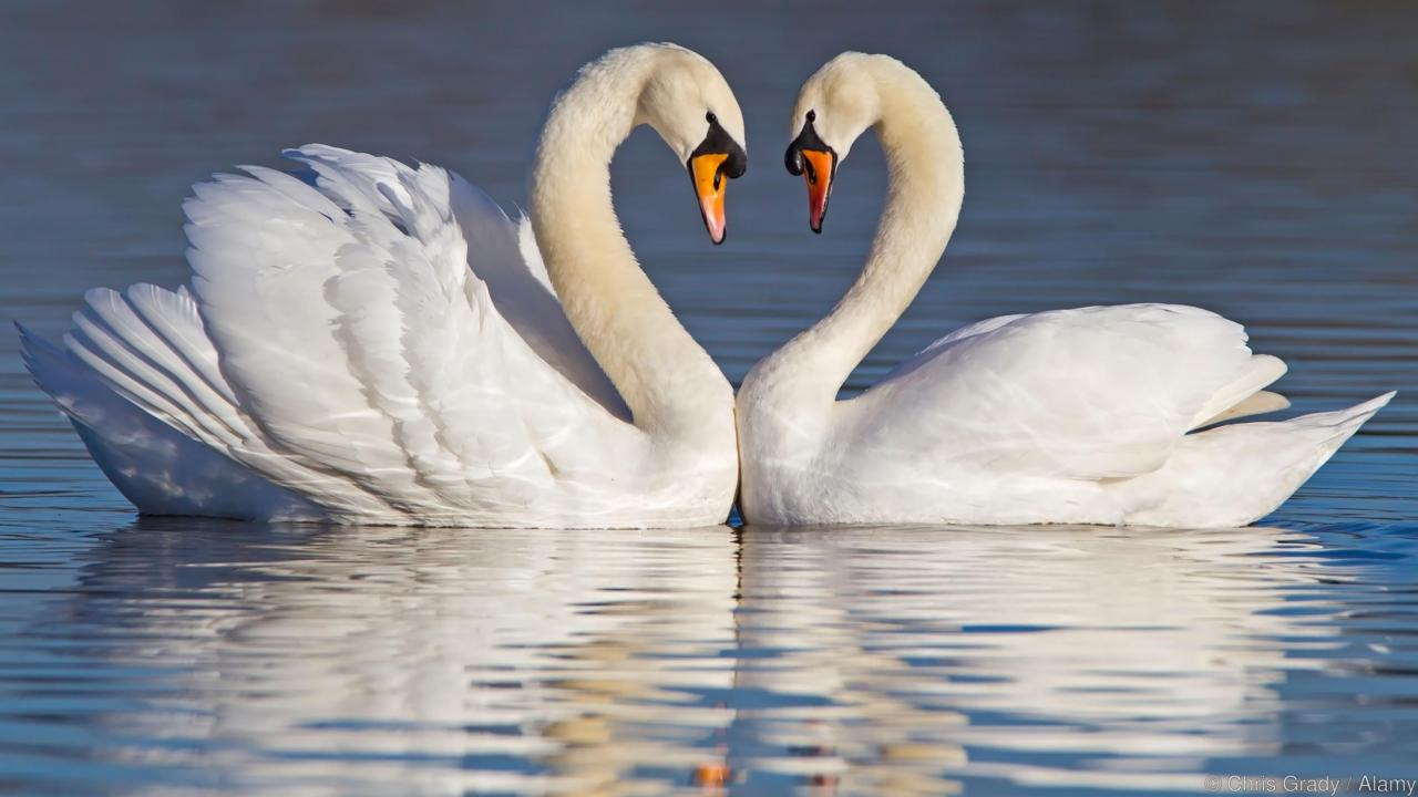 Swans - Facts About