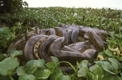 Animal Facts - Breeding Ball Anaconda