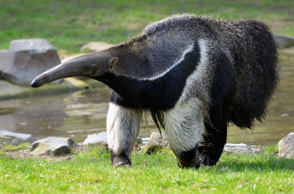 Animal Facts - Anteater