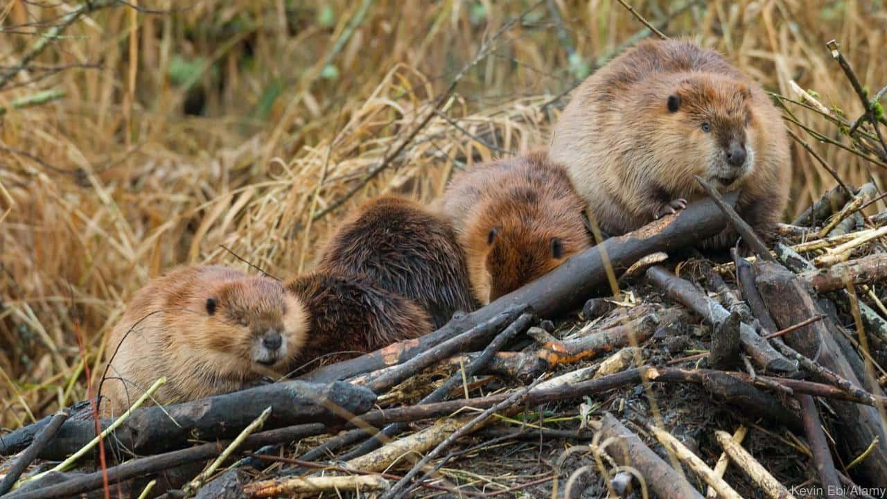 Animal Facts - American Beaver