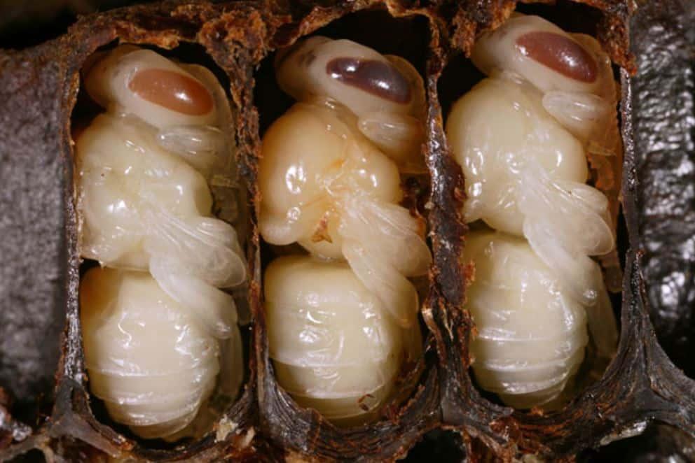Bee Larvae - animal Facts