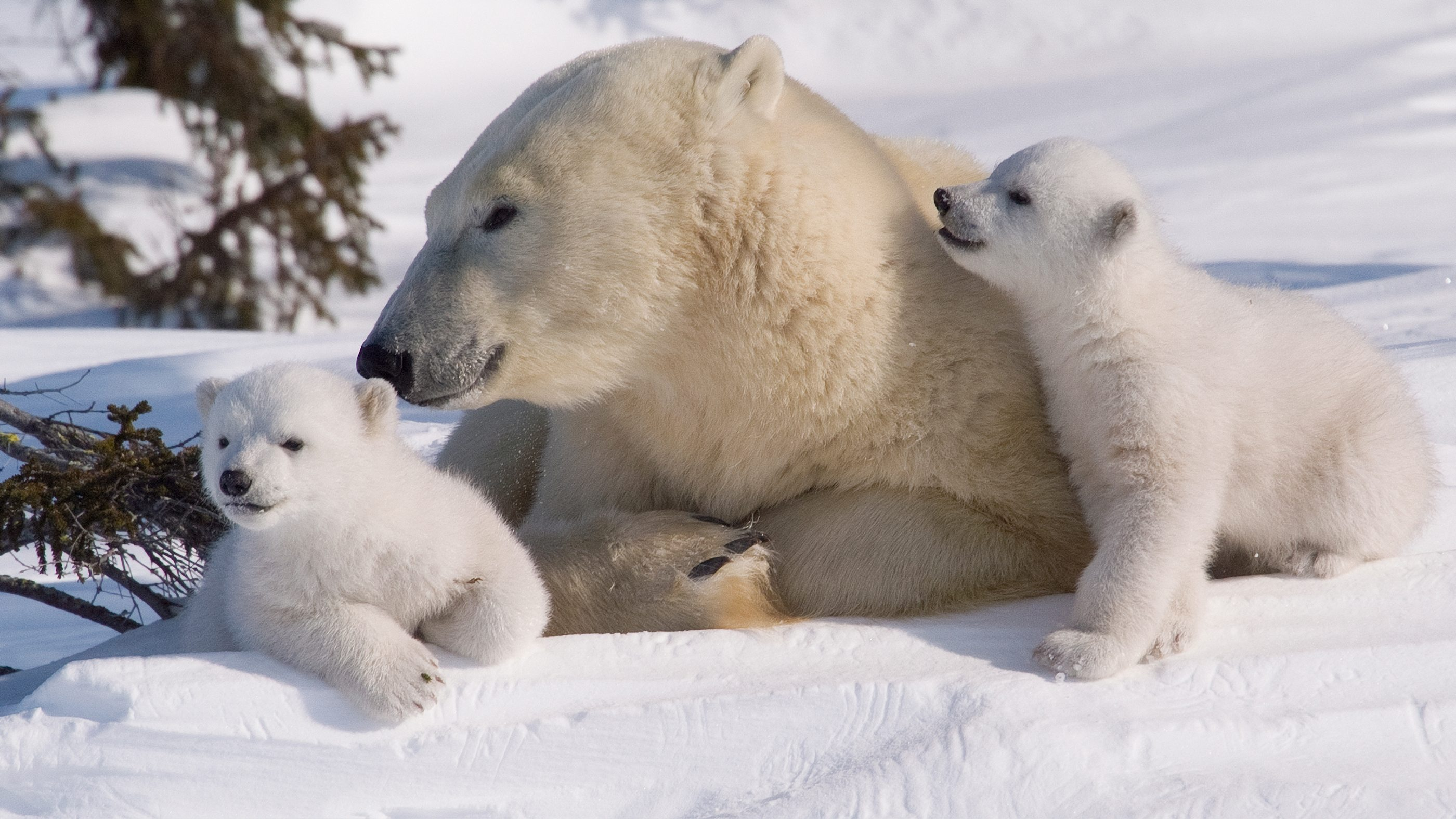 Polar Bears - Animal Facts