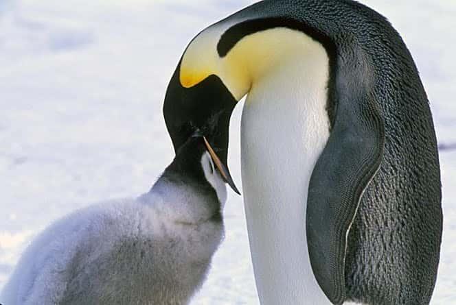 Regurgitation Penguin