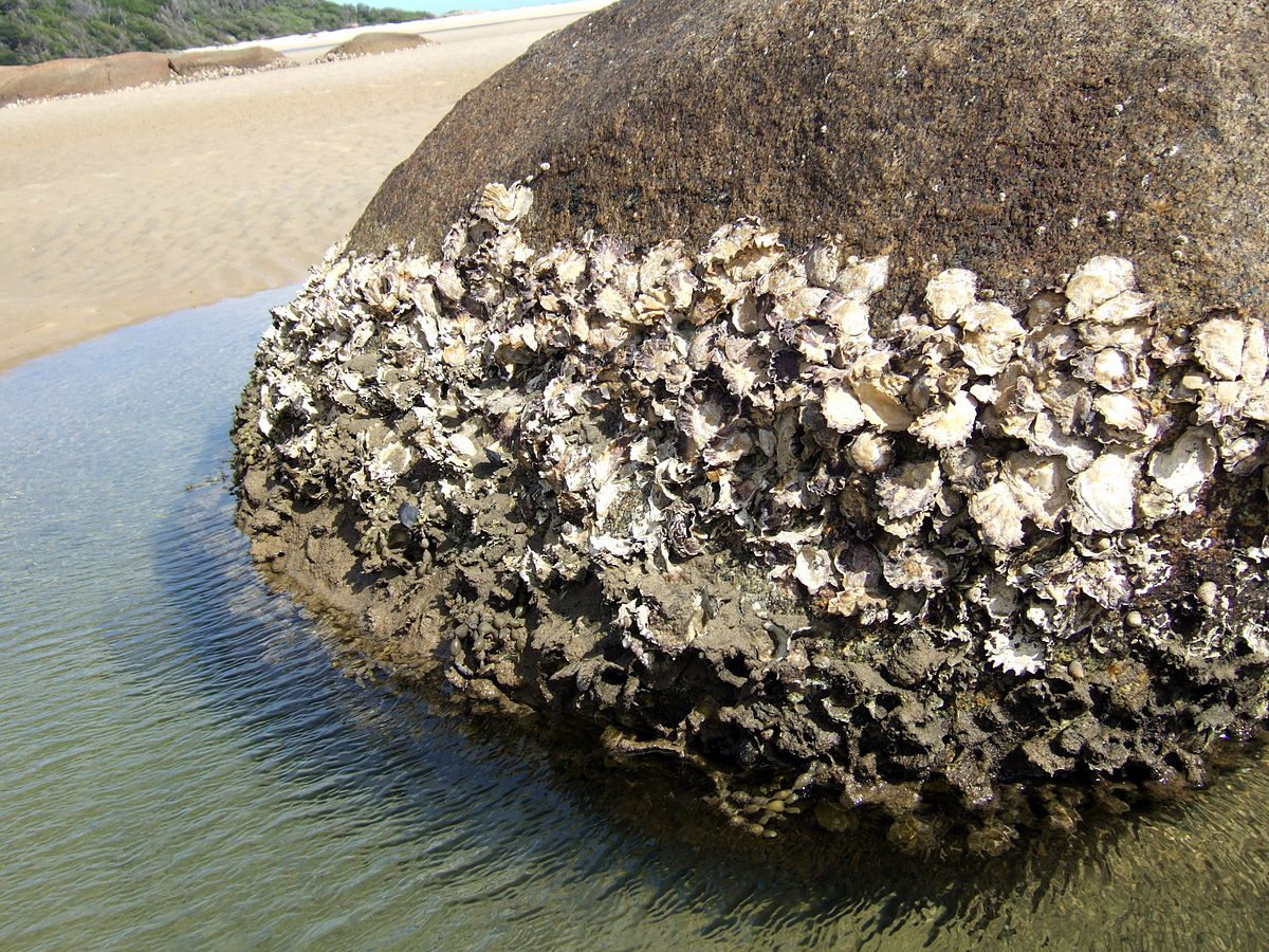 Animal Facts - Rock Oysters