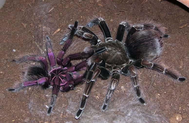 Animal Facts - Tarantula Mating