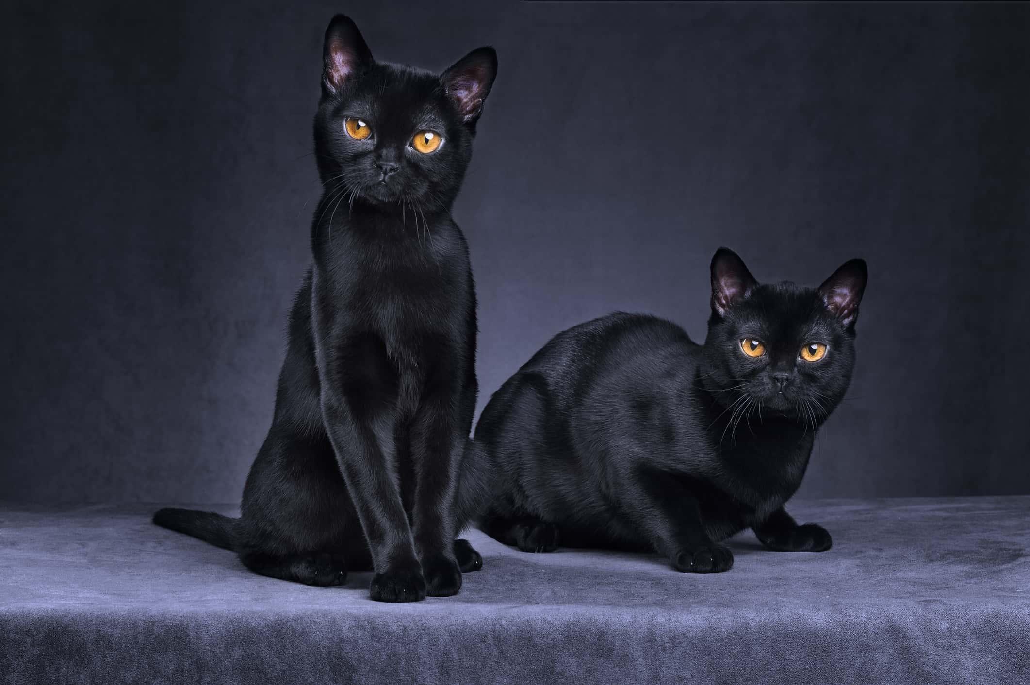 Portrait of two Black cats.