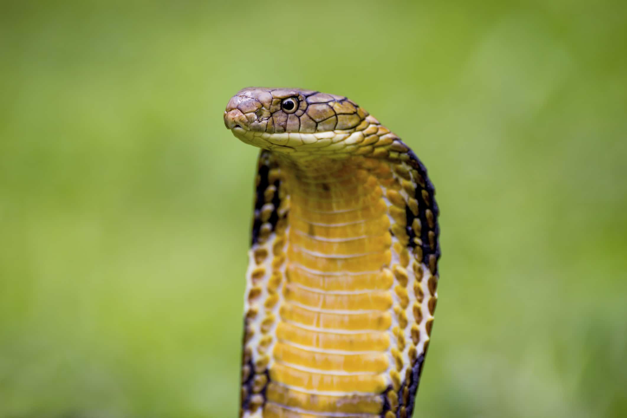 Cobra  snake  Britannicacom