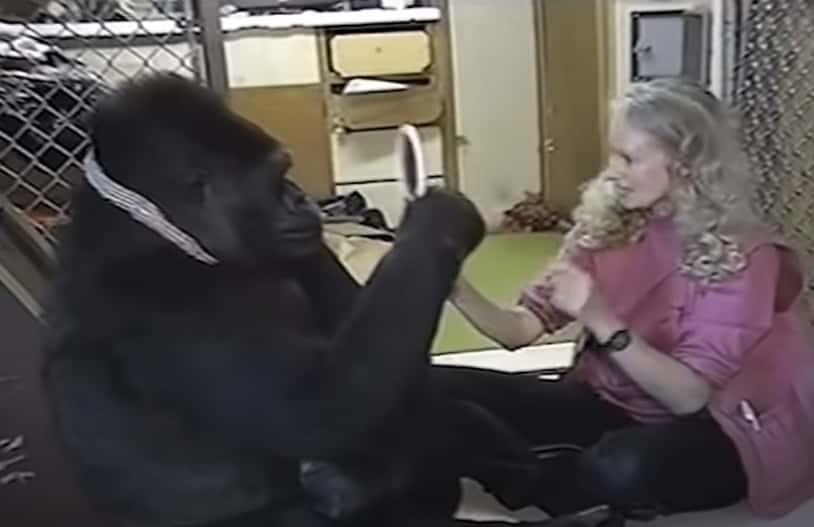 Koko The Gorilla facts
