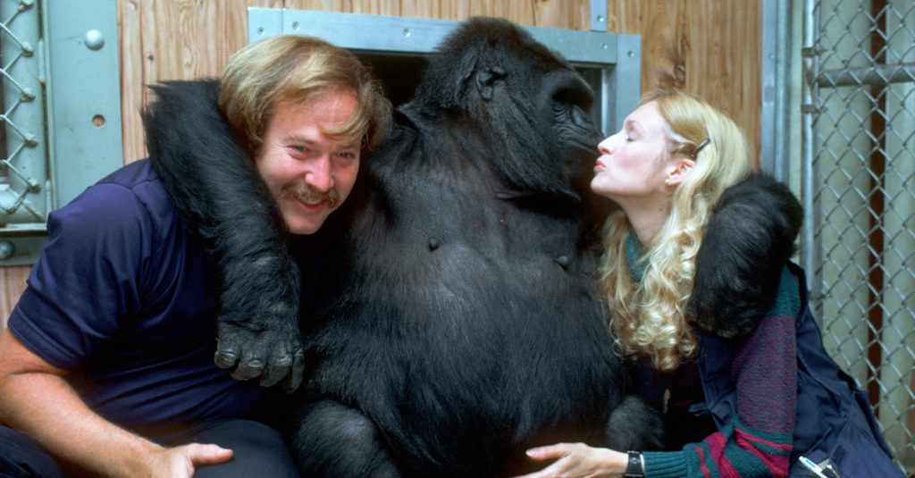44 Heartwarming Facts About Koko, The Gorilla Who Knew Sign Language