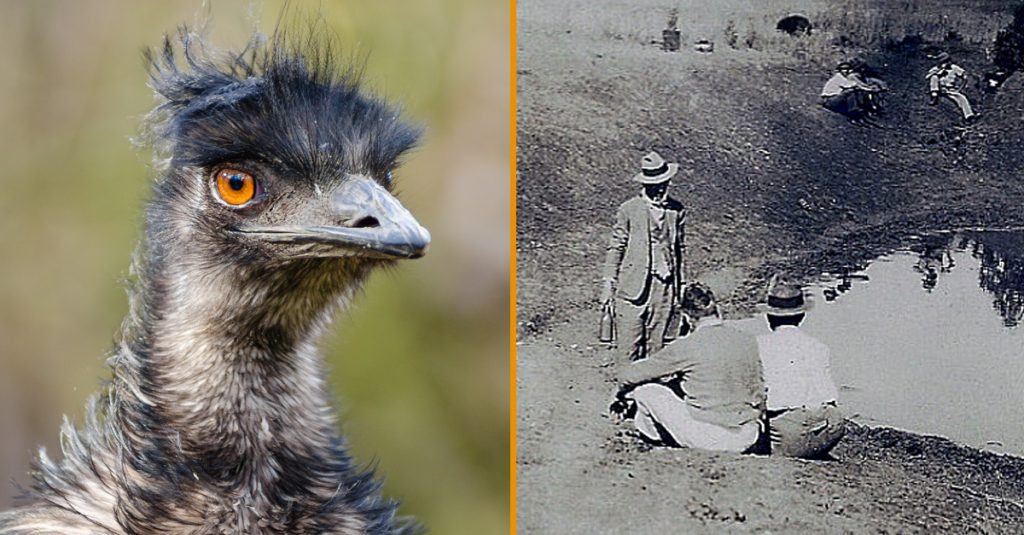 The Great Emu War: History's Overlooked And Most Hilarious Conflict