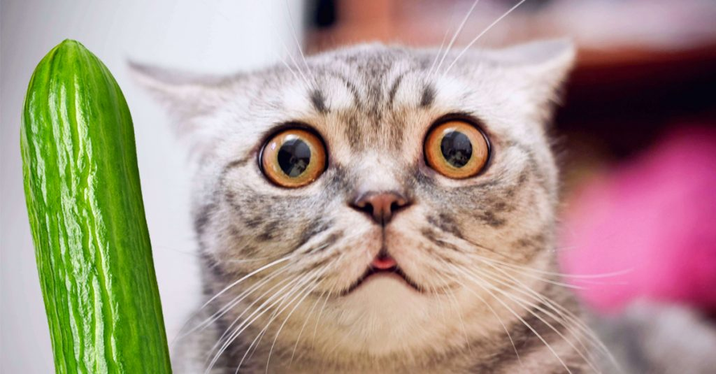 Why Are Cats Scared Of Cucumbers?