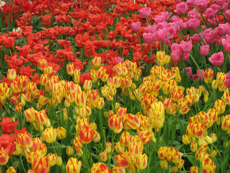 tulip mania editorial