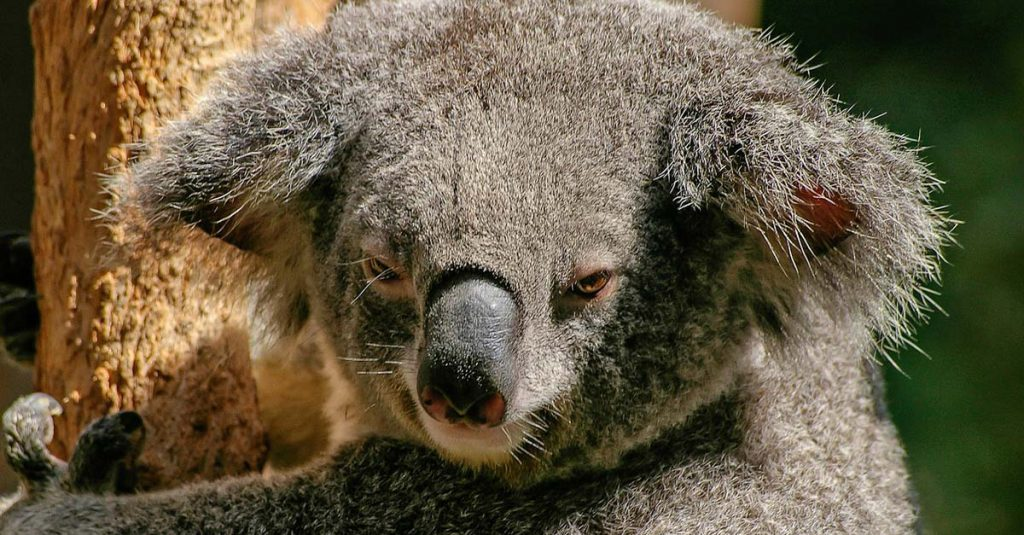 Why Do Koalas Sleep So Much?