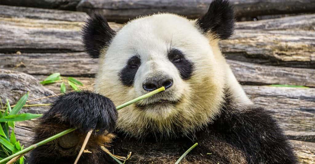 Are Pandas Bears?
