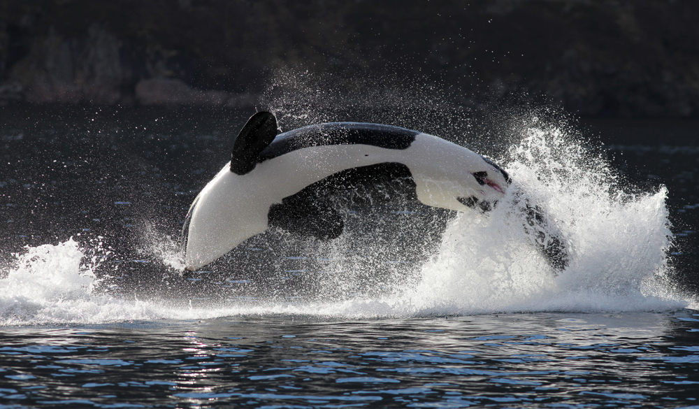 Are Orcas Whales?