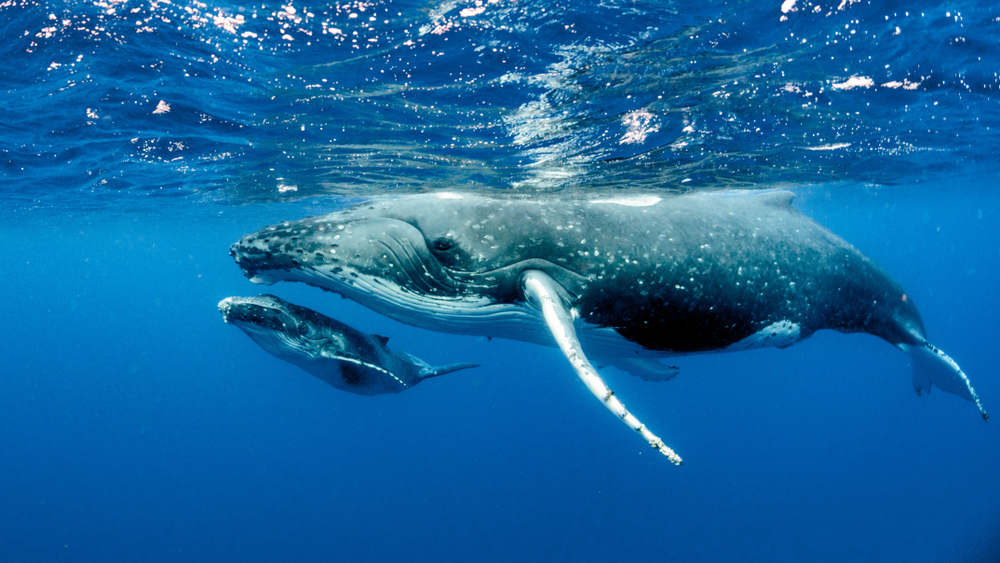 Are Whales Mammals?
