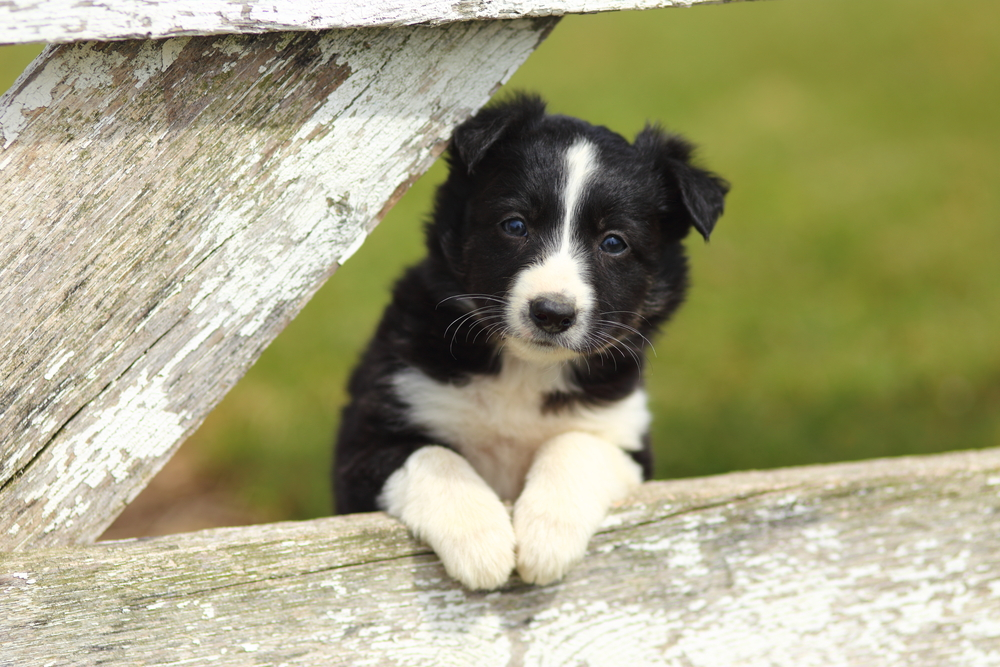 Puppy on farm